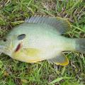 Hybrid sunfish, sometimes called hybrid bream, are good options for small ponds because they grow quickly, especially when fed, and they are easy to catch. (Photo by MSU Extension Service/Wes Neal)
