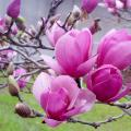 Saucer magnolias bloom before the leaves emerge with huge, white, pink or bold-purple flowers that reach up to 10 inches across. (Photo by MSU Extension/Gary Bachman)