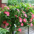 Annual flowering vincas perform well in the landscape and in containers. This Mediterranean Hot Rose has a spreading growth habit that allows it to spill over the edge of a hanging basket. (Photo by MSU Extension/Gary Bachman)