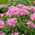 These Lucky Pink pentas offer a rich pink color on branching, compact plants.