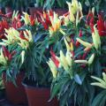 Red, green, and yellow pods on a Chilly Chili plant, a colorful pod producer without the heat.