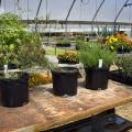 Three varieties of milkweed grow in four containers inside a greenhouse at the Mississippi State University South Mississippi Branch Experiment Station in Poplarville.