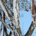 Branches of a tree are covered with a white, felt-like substance.