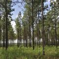 This forest has hundreds of tall, thin pine trees with light-gray bark and green clumps of needles.