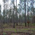 Tall, thinned pines in a wooded area with visible sky overhead. Ground plants are slowly beginning to grow.