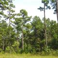 A stand of tall pine trees with significant amounts of green brush, grass and small trees growing beneath them.
