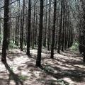 Sun shines down through rows of young pine trees, each about 10 inches in diameter, with minimal greenery visible.