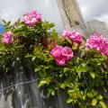 Numerous pink roses flowers bloom on light-green leaves against a gray wood fence.
