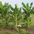 Five tall, bright-green banana plants with large leaves stand prominently in a flower bed.