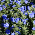 Dozens of blue flowers bloom over green leaves.