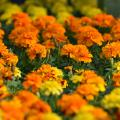 Dozens of yellow and orange blooms form a solid blanket.