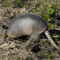 Armadillos have flat, pig-like snouts used to assist in digging, and many homeowners can detect the presence of these insect eaters by the shallow holes and rooting they leave behind when digging for food. (Photo by iStock)