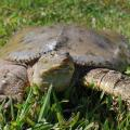 Turtles pose no major threat to fish populations in ponds. In fact, they have a beneficial effect on water quality by scavenging for dead animals and plants. (Photo by Evan O'Donnell/MSU Extension)