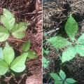 """Leaves of three, let them be"" (left) is the rhyme people use to identify poison ivy while it is actively growing, but every part of the plant can cause itchy outbreaks, even during winter dormancy. Virginia creeper (right) is often mistaken for the three-leaved poison ivy, but there is no need to fear these vines with five leaves. (Photos by MSU Extension Service/Evan O'Donnell)"