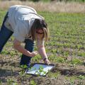 Mississippi State University graduate student Chelsie Darnell of Union City, Tennessee, gently knocks thrips from soybean plants to her collection tray in a Sunflower County, Mississippi, field on June 3, 2015. (Photo by MSU Ag Communications/Linda Breazeale)