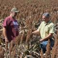 Eddie Stevens, supervisor for the R.R. Foil Plant Science Research Center at Mississippi State University, left, and Erick Larson, an associate research/extension professor, examine grain sorghum in a herbicide study in fields on the north side of campus on Sept. 24, 2015. (Photo by MSU Ag Communications/Linda Breazeale)
