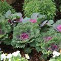 Ornamental kale and cabbage provide easy fall and winter color. (Photo by MSU Extension Service/Gary Bachman)