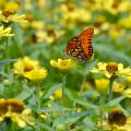 A butterfly visits flowers at the Mississippi State University South Mississippi Branch Experiment Station in Poplarville in this photo taken in June. Pollinators still need sources of nectar in late fall as they prepare to reproduce or migrate to their overwintering locations. (Photo by MSU Extension Service/Susan Collins-Smith)
