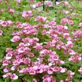Diascias are cheerful plants that produce loads of delicate flowers that cover mounding foliage. This bright pink Diascia will bloom prolifically as long as temperatures are mild. (Photo by MSU Extension/Gary Bachman)