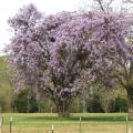 Wisteria is a climbing vine that is very hardy and extremely long-lived. Its landscape value is enhanced in the spring by the pendulous flowers it produces. (Photo by MSU Extension Service/Gary Bachman)
