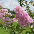 Flower buds develop on the current season's growth for summer-flowering plants like crape myrtle. Pruning in the spring does not impact their flowering. (Photo by MSU Extension Service/Gary Bachman)