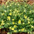Gold Dust mercardonia is a tough annual that can handle the difficult area between sidewalks and roads. With irrigation, it can create a blanket of yellow flowers. (Photo by MSU Extension Service/Gary Bachman)