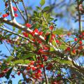 Yaupon holly bushes are either male or female, and only the females produce the red berries that the plants are known for. (Photo by MSU Extension Service/Gary Bachman)