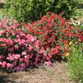 Drift roses, such as these pink and red selections, are lower-growing landscape roses that work great in small spaces, borders and even containers. (Photo by MSU Extension/Gary Bachman)