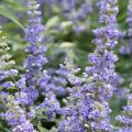 Vitex flower spikes can reach 18 inches long. During the initial flush, the show of flowers may resemble a hazy blue or purplish cloud. (Photo by MSU Extension/Gary Bachman)