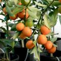 Kumquats perform well in Mississippi when given winter protection. Gardeners eat just the peel of this beautiful fruit. (Photo by MSU Extension/Gary Bachman)