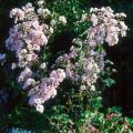 The crape myrtle is widely planted throughout the South because it flowers during the hot summer months when little else is in flower.