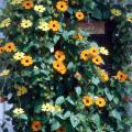 The black-eyed Susan is a very versatile vine. It can be grown at the entrance to the cottage garden or as a bright addition to the tropical garden. Regardless, grow them over an arbor along a fence. They will even work on the mailbox.