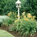 Daylilies are among our best perennials.