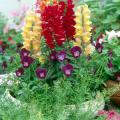With flowers like pansies, panolas, violas, flowering kale or cabbage, dianthus and chrysanthemums, the choices for your fall planter are great.