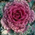 Flowering kale and cabbage are not eaten, but the leaves do make very decorative garnishes for holiday feasts.
