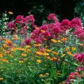 The bright orange cosmos and hot pink phlox make the summer flower garden a blaze of color.
