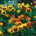 Delta Fire pansy  can literally light up the winter landscape with its brilliant yellows and rusts. Mass plant with Red Giant mustard for a striking combination.