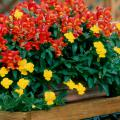 Dwarf Montego snapdragons and yellow pansies create a mixed container that would brighten any porch, patio or deck.