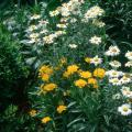 Early Sunrise coreopsis combines wonderfully with the pristine, white flowers of the ox-eye daisy.