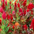 Mass plant the celosia in a variety of colors for a dazzling display.