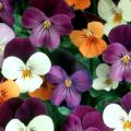 The Duet viola mix features bold, vibrant orange, yellow, violet, cream and lavender petals, and the Swirl mix has an heirloom, or antique, look with pale yellow, cream with lilac and lavender shades.