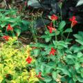 In the first year the Rajun Cajun gets established nicely and for most of the summer sends up shooting star-like stalks topped with brilliant red blossoms. By the third year the clump has enlarged considerably, yielding dozens of flower stalks at once.