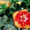 One of the newest hibiscus is Sun Showers. Sun Showers is indeed like a solar flare on the sun with orange, red and white.