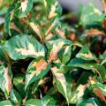 Tricolor features green leaves and a variegated, irregular band of cream and pink down the middle of the leaf. Both Chocolate and Tricolor reach about 36 inches in height and thrive in full or partial sun.