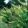 The forsythia sage is a short-day or long-night bloomer that reaches 6 to 7 feet in height and is topped by bright yellow blossoms reaching 12 to 24 inches in length.