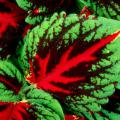 Among the hottest plants in the United States this spring is the new Kong coleus. While the demand may make it hard to find, the easiest opportunity to grab some will be the Jackson Garden and Patio Show.