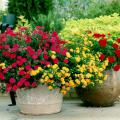 Red verbena and lantana join with geraniums to create an inspiring display of mixed plants.