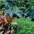 The Black Magic, with its dark purple leaves, is one of the most sought-after elephant ear varieties. Grow elephant ears with other coarse-textured plants like bananas, gingers and cannas, such as the Tropicanna pictured here.
