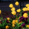Yellow tulips provide a colorful contrast with purple pansies.