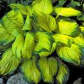 "Stained Glass has brilliant shiny golden foliage surrounded by a 2-inch wide, dark-green margin. The American Hosta Growers Association has chosen Stained Glass as the 2006 ""Hosta of the Year."""